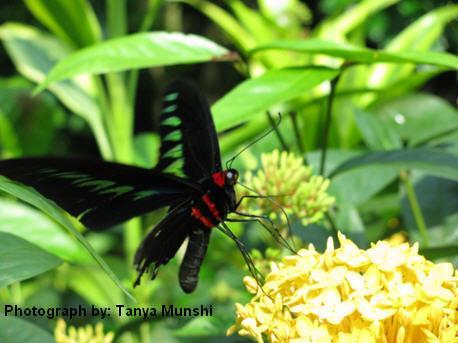 Butterfly_tanyamunshi