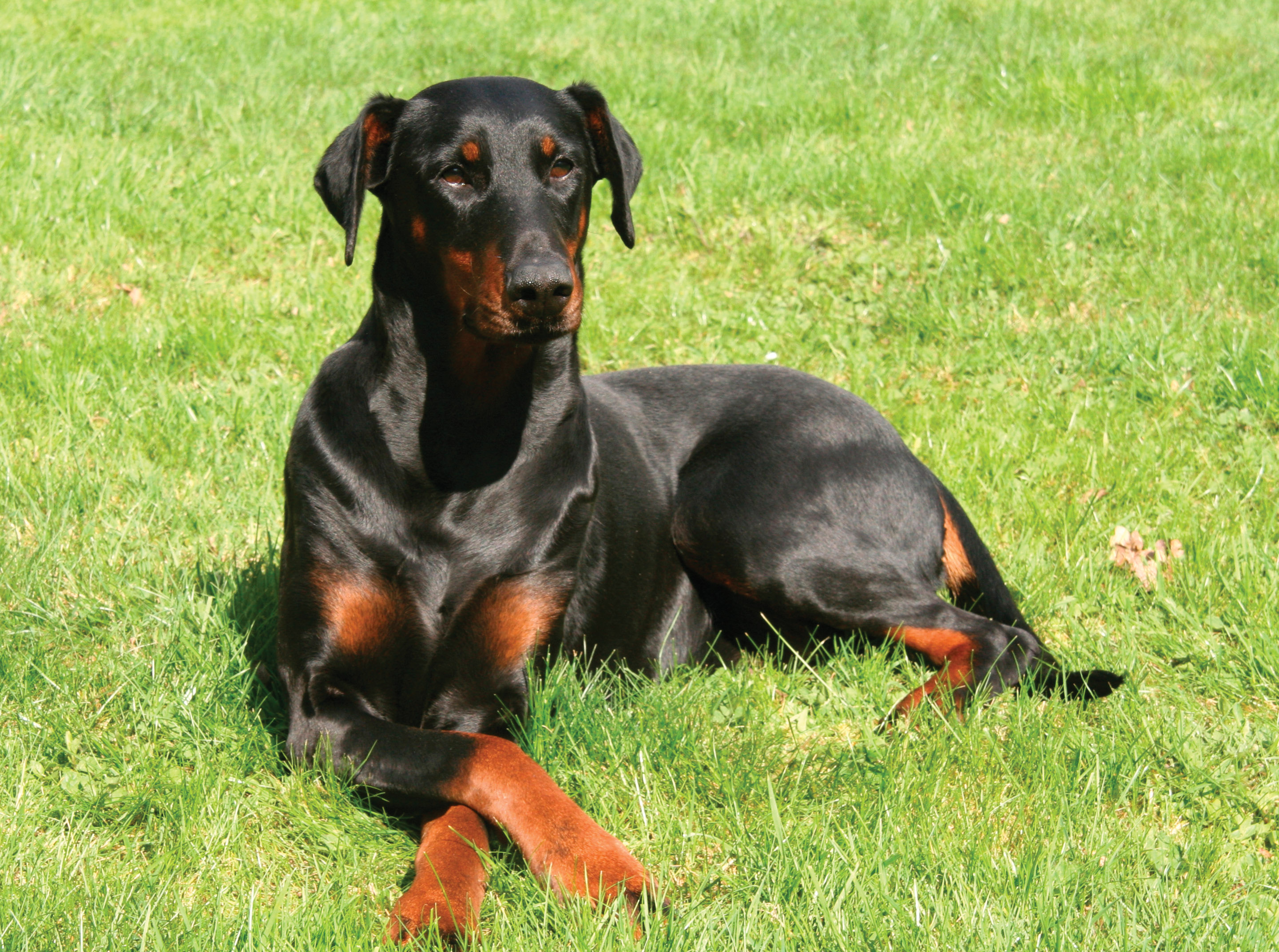 A Quick Guide To Keeping A Doberman Tanya Munshis The Lifestyle