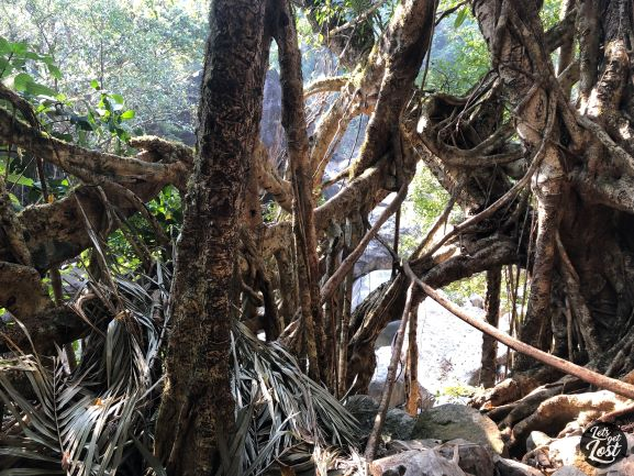 Intertwined roots like a ball of yarn, entire rainforest an opera of roots